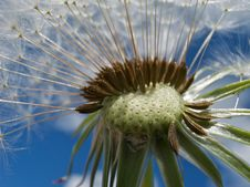 Free Dandelion Parachutes Royalty Free Stock Photo - 19445975