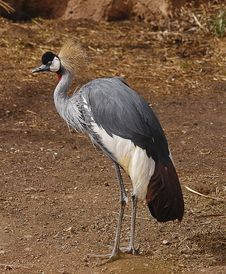 African Crowned Crane Stock Photos