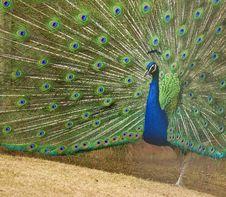 Free Peacock Royalty Free Stock Image - 19447176