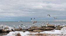 Free Seagulls At The Lake In Winter Royalty Free Stock Photography - 19449717