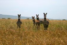 Free Four Zebras Looking At The Camera Royalty Free Stock Image - 19449816