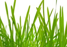Free Young Green Grass (oat) Royalty Free Stock Photo - 19449885