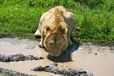 Big Lion Drinking Water From Puddle Royalty Free Stock Photo