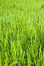 Free Fresh Green Grass Isolated Royalty Free Stock Image - 19451546