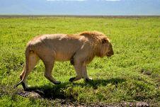 Big Lion Walking Next To Road In Serengeti Stock Photos