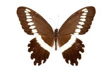 Free Brown And White Butterfly Papilio Gallienus Royalty Free Stock Image - 19451776