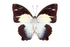 Free Black Blue And White Butterfly Agatasa Calydonia Royalty Free Stock Photos - 19451788