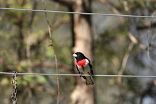 Free Male Rose Breasted Grosbeak Royalty Free Stock Photography - 19453717