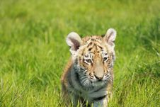 Free Siberian Tiiger Puppy Royalty Free Stock Photos - 19453818