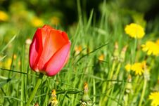Free Red Tulip Stock Image - 19453961
