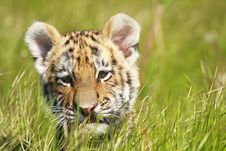 Free Siberian Tiiger Puppy Stock Images - 19453964