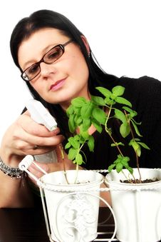 Woman Watering Basil Plants Stock Images