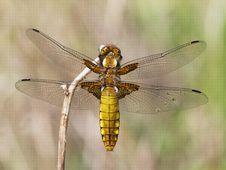 Free Broad-bodied Chaser (Libellula Depressa) Royalty Free Stock Photography - 19454167