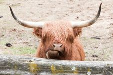 Free Wooley Yak Stock Photos - 19454953