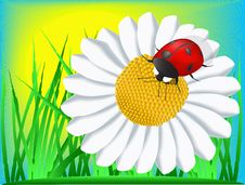 Ladybird And Camomile Royalty Free Stock Photo