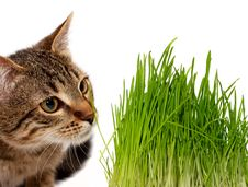 Free Cat Smelling A Green Grass Royalty Free Stock Photography - 19455967