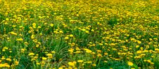Free Field Of Dandelions Stock Images - 19455974
