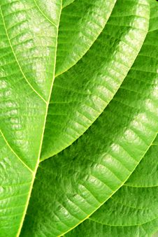 Free Green Plant Leave, Detail Royalty Free Stock Images - 19456009