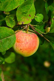 Free Apple On A Branch Stock Images - 19456114