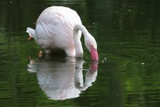 Free Greater Flamingo Stock Photos - 19456183