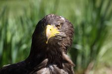 Free White-tailed Eagle Stock Photo - 19456360