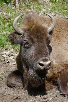 Free Big Head Of Bison Royalty Free Stock Photo - 19456415