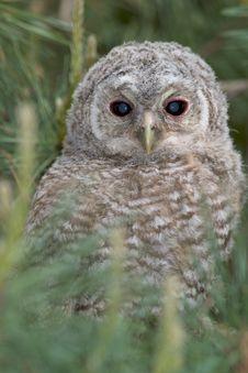 Tawny Owl, Juvenile / Strix Aluco Stock Photo