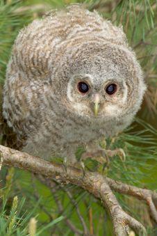Tawny Owl, Juvenile / Strix Aluco Royalty Free Stock Image
