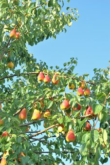 Pear Tree. Stock Photos