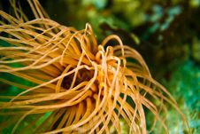 Orange Sea Anemone Stock Image