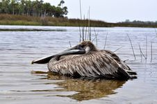 Free Pelican In The Water Stock Images - 19459104