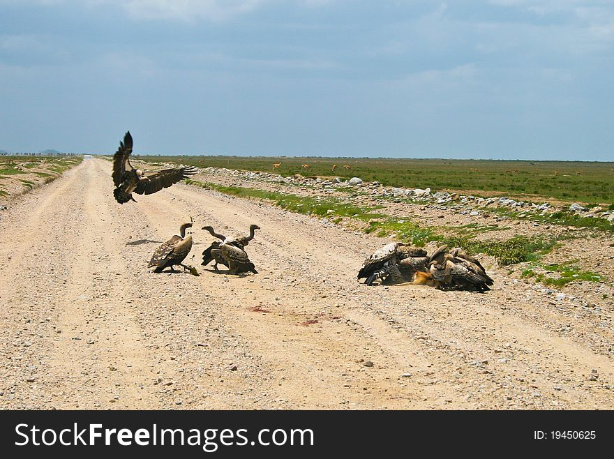 Vultures eating small gazelle in Serengeti