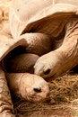 Free Aldabra Giant Tortoise Royalty Free Stock Image - 19462216