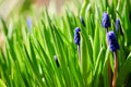 Free Fresh Muscari Flowers. Stock Photo - 19466950