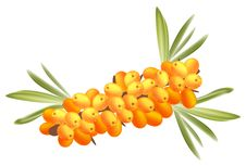 The Branch Of Sea-buckthorn Berries. Stock Photo