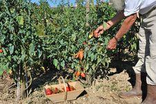 Free Tomatoes Garden Two Royalty Free Stock Photos - 19461738
