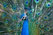 Free Peacock Royalty Free Stock Photos - 19461998