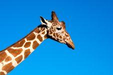 Free Giraffe Head Royalty Free Stock Images - 19462059