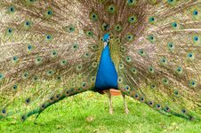 Free Colorful Peacock Royalty Free Stock Photos - 19462198