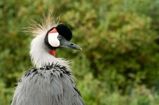 Free Crowned Crane Stock Photography - 19462232