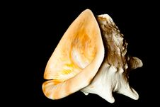 Free Sea Shell Royalty Free Stock Photography - 19462327