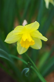 Free Yellow Narcissus Stock Images - 19463754