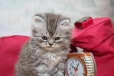 Free Persian Kitty Royalty Free Stock Images - 19463759