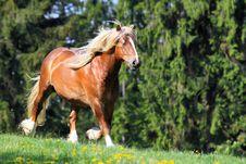 Free The Burly Stallion Stock Photo - 19464380