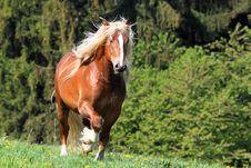 Free The Burly Stallion Royalty Free Stock Photography - 19464417