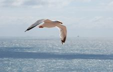 Free Seagull Stock Photography - 19466442