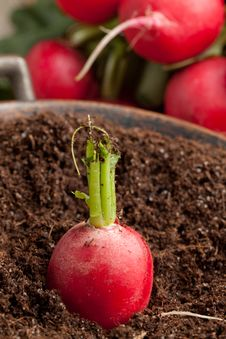 Free Fresh Radish In Soil Stock Image - 19466811
