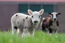Free Sheep Stock Photography - 19467742
