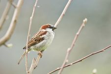 Free Sparrow Stock Image - 19467831