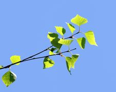Free Branches Of Birch With Leaves On A Sunny Ljght Royalty Free Stock Images - 19468069